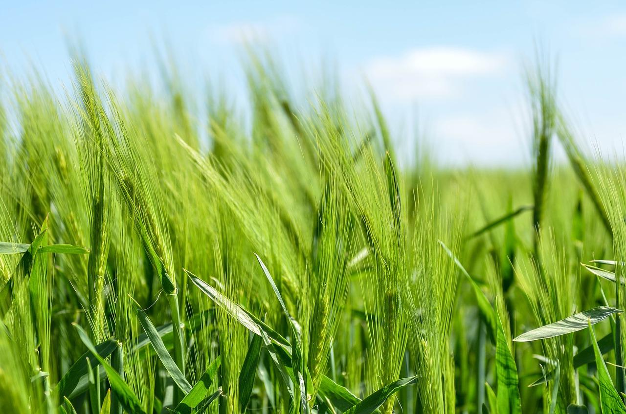 barley-872000_1280